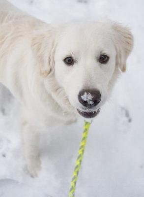 Bailey met sneeuw op de neus | Fotografie Gerhard Witteveen